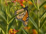 Monarch Butterfly Sipping Nectar from a Flower Photographic Print by Brian Gordon Green