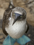 A Portrait of a Blue-Footed Booby, Sula Nebouxii Photographic Print by Tim Laman