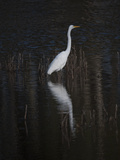 An Egret Standing in Rippled Water and Reflections Fotografisk tryk af Karen Kasmauski