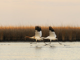 Whooping Crane Adult and Juvenile Taking Off from Wintering Grounds Fotografisk tryk af Klaus Nigge