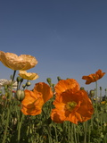 Poppies Growing in Flower Gardens in Front of the Union House Photographic Print by Paul Sutherland