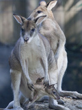 Portrait of Captive Agile Wallabys, Macropus Agilis Photographic Print by Kent Kobersteen