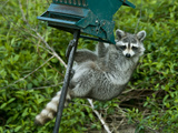 A Raccoon, Procyon Lotor, Stealing Sunflower Seed from a Bird Feeder Photographic Print by Bates Littlehales