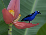 Red-Legged Honeycreeper, Cyanerpes Cyaneus, on a Banana Flower Photographic Print by Roy Toft