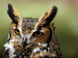 Close Up Portrait of a Great Horned Owl, Bubo Virginianus Photographic Print by Bates Littlehales