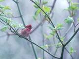 A Purple Finch, Carpodacus Purpureus, Perched in a Tree in Heavy Fog Photographic Print by Bates Littlehales