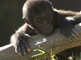 A Baby Gorilla, Gorilla Species, Leaning over a Log Photographic Print by Paul Sutherland