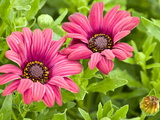 Close-Up of Pink African Daisies, Osteospermum, Asteraceae Photographic Print by Brian Gordon Green
