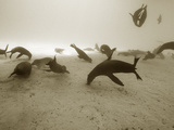 Galapagos Sea Lion,Zalophus Wollebaeki Starving in an El Nino Year Photographic Print by Mauricio Handler