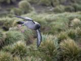 Light-Mantled Sooty Albatross,, Phoebetria Palpebrata, in Flight Photographic Print by Roy Toft