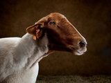 A Tunis Sheep at the Indiana State Fair Photographic Print by Vincent J. Musi