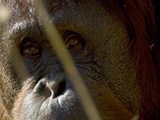 Close Up of an Orangutan Face Photographic Print by Paul Sutherland
