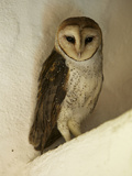 A Portrait of a Barn Owl, Tyto Alba, Roosting in a Building Photographic Print by Tim Laman