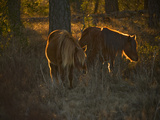 A Back Lit View of Chincoteague Ponies in a Woodland Photographic Print by Karen Kasmauski