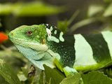 Highly Endangered Fiji Crested Iguana, Iguanidae Brachylophus Photographic Print by Mauricio Handler