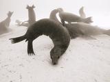 Galapagos Sea Lions Starving During an El Nino Year Photographic Print by Mauricio Handler