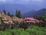 A Stand of Rhododendron in Bloom on Mount Mitchell Photographic Print by Bates Littlehales