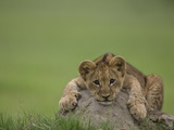 African Lion Cub, Panthera Leo, Lying across a Mound of Soil Fotografisk tryk af Beverly Joubert