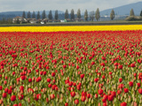 Fields of Red and Yellow Tulips in Spring, North of Seattle Fotografisk tryk af Karen Kasmauski