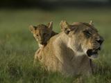 African Lioness, Panthera Leo, Resting with Cub Fotografie-Druck von Beverly Joubert