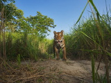 A Protected Tiger in Kaziranga National Park Photographic Print by Steve Winter