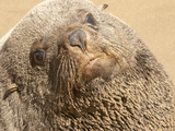 Close-Up of a Golden Seal Covered in Sand Photographic Print by Pete McBride