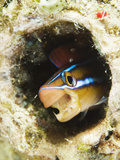 Blue Striped Fangblenny, Plagiotremus Rhinorhynchos in a Burrow Photographic Print by Mauricio Handler