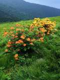 Flame Azalea, Rhododendron Calendulaceum, in Bloom on a Mountain Side Photographic Print by Bates Littlehales