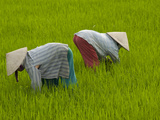 Vietnamese Rice Farmers Working in a Lush Paddy Photographic Print by Karen Kasmauski