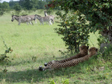 A Pair of Cheetahs Resting and Watching a Herd of Burchell's Zebras Photographic Print by Roy Toft