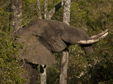 African Elephant, Loxodonta Africana, Among Trees and Bushes Photographic Print by Beverly Joubert