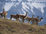 Guanacos Graze on the Steppes in Torres Del Paine National Park Photographic Print by Maria Stenzel