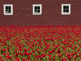 A Field of Red Tulips and a Barn in Spring Fotografisk tryk af Karen Kasmauski