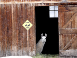 A Llama, Lama Glama, Peers from Barn Door Photographic Print by Robbie George