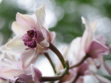 Close Up of an Orchid at the U.S. Botanical Garden Photographic Print by Stephanie Lane