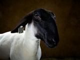 A Suffolk Sheep at the Indiana State Fair Photographic Print by Vincent J. Musi
