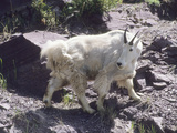 Portrait of a Shedding Mountain Goat Photographic Print by Bates Littlehales
