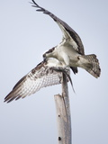 An Osprey on a Dead Tree, Eating a Fish, Near the Occoquan River Photographic Print by Kent Kobersteen