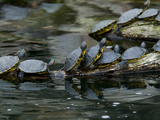 11 Turtles Bask on a Log in the Sun Photographic Print by Brian Gordon Green