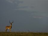 Portrait of an Impala, Aepyceros Melampus, in the Grasslands Photographic Print by Beverly Joubert