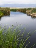 Reeds Growing on the Banks of a River Fotografisk tryk af James Forte