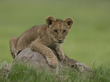 African Lion Cub, Panthera Leo, Lying across a Mound of Soil Photographic Print by Beverly Joubert