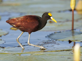 Portrait of a Northern Jacana, Jacana Spinosa Photographic Print by Roy Toft