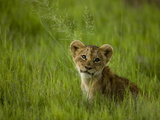 African Lion Cub, Panthera Leo, Portrait in Lush Grass Photographic Print by Beverly Joubert