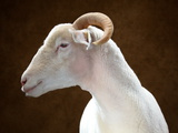 A Horned Dorset Sheep at the Indiana State Fair Photographic Print by Vincent J. Musi