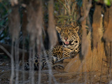 Jaguar, Panthera Onca, Resting in the Shade Photographic Print by Roy Toft