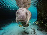 Florida Manatee in a Fresh Water Spring. Fish Eat Algae on it's Body Fotografisk tryk af Brian J. Skerry