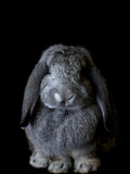 A French Lop Rabbit at the Indiana State Fair Photographic Print by Vincent J. Musi