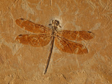 Fossil Dragonfly, Cordulagomphus Fenestratus, Lower Cretaceous Photographic Print by John Cancalosi