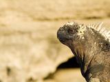 A Galapagos Marine Iguana, Amblyrthynchus Cristatus, Sunning Itself Photographic Print by Mauricio Handler